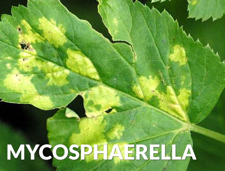 Mycosphaerella