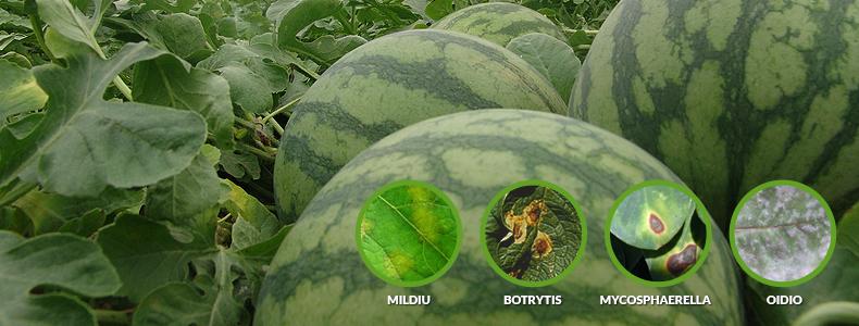 enfermedades-melon-sandia